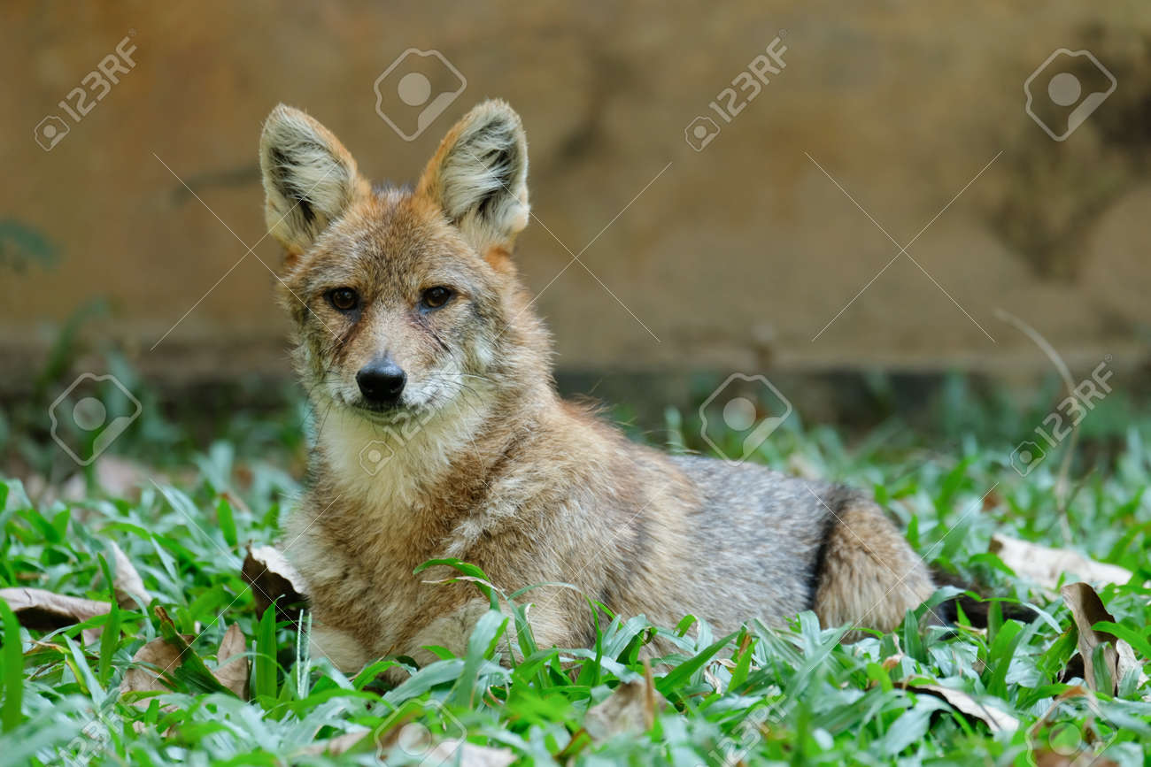Different actions of the golden jackal during the day. Golden jackal resting on lawn - 168610162