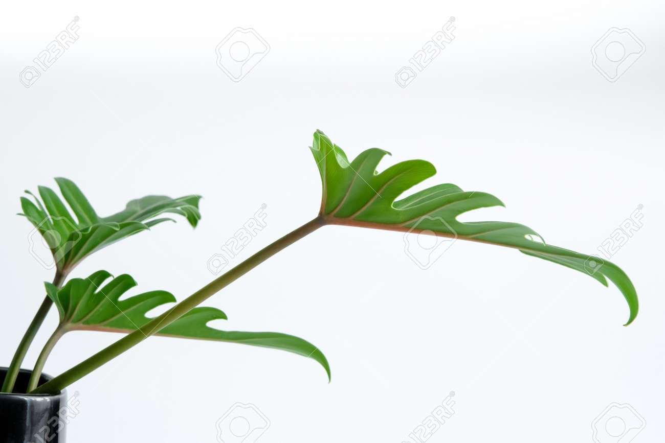 Green Philodendron Xanadu popular foliage adorned and decorated on white background. - 168610182