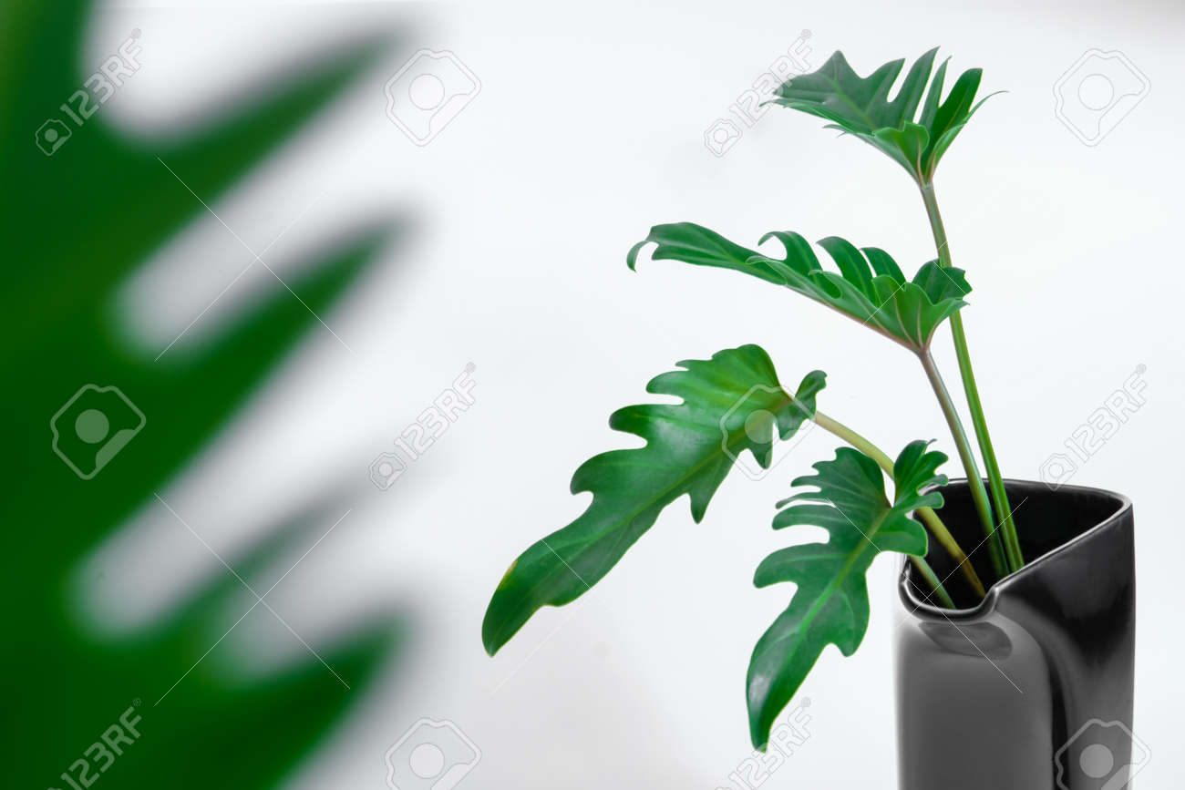 Green Philodendron Xanadu popular foliage adorned and decorated on white background. - 168610188