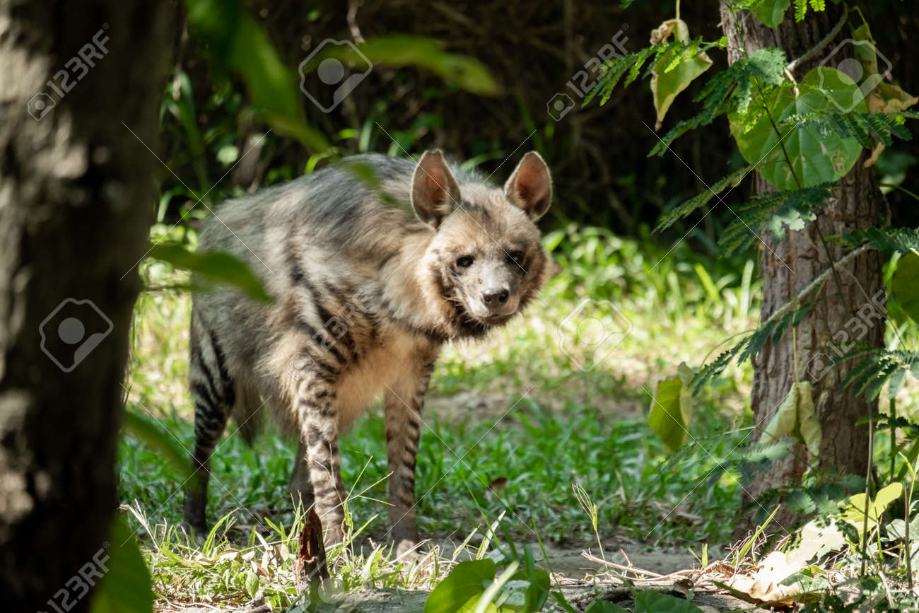 Striped hyenas have a broad head with dark eyes, a thick muzzle, and large, pointed ears. - 168610088