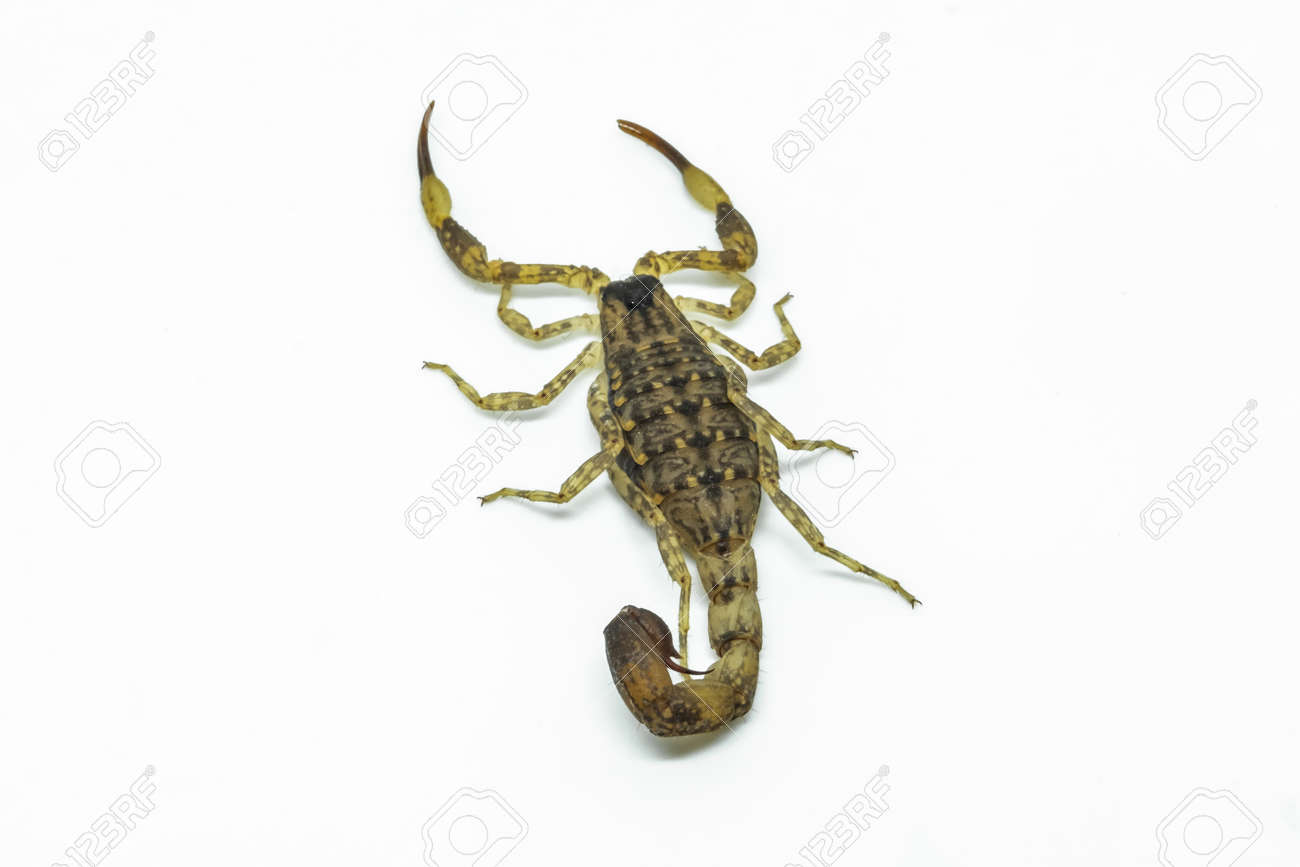 Chinese Swimming Scorpion is considered the most widespread and common scorpion species across Southeast Asia - 168610091