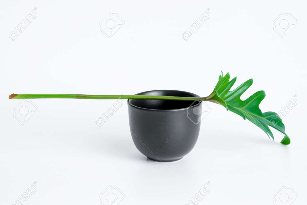 Green Philodendron Xanadu is placed on a black cup, popular leaves adorned on a white background. - 168610092