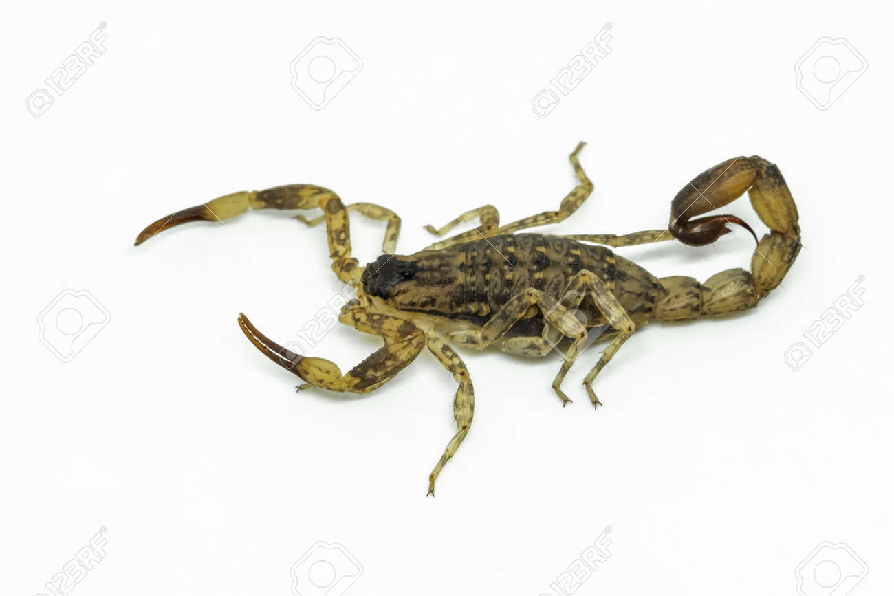 Chinese Swimming Scorpion is considered the most widespread and common scorpion species across Southeast Asia - 168610093