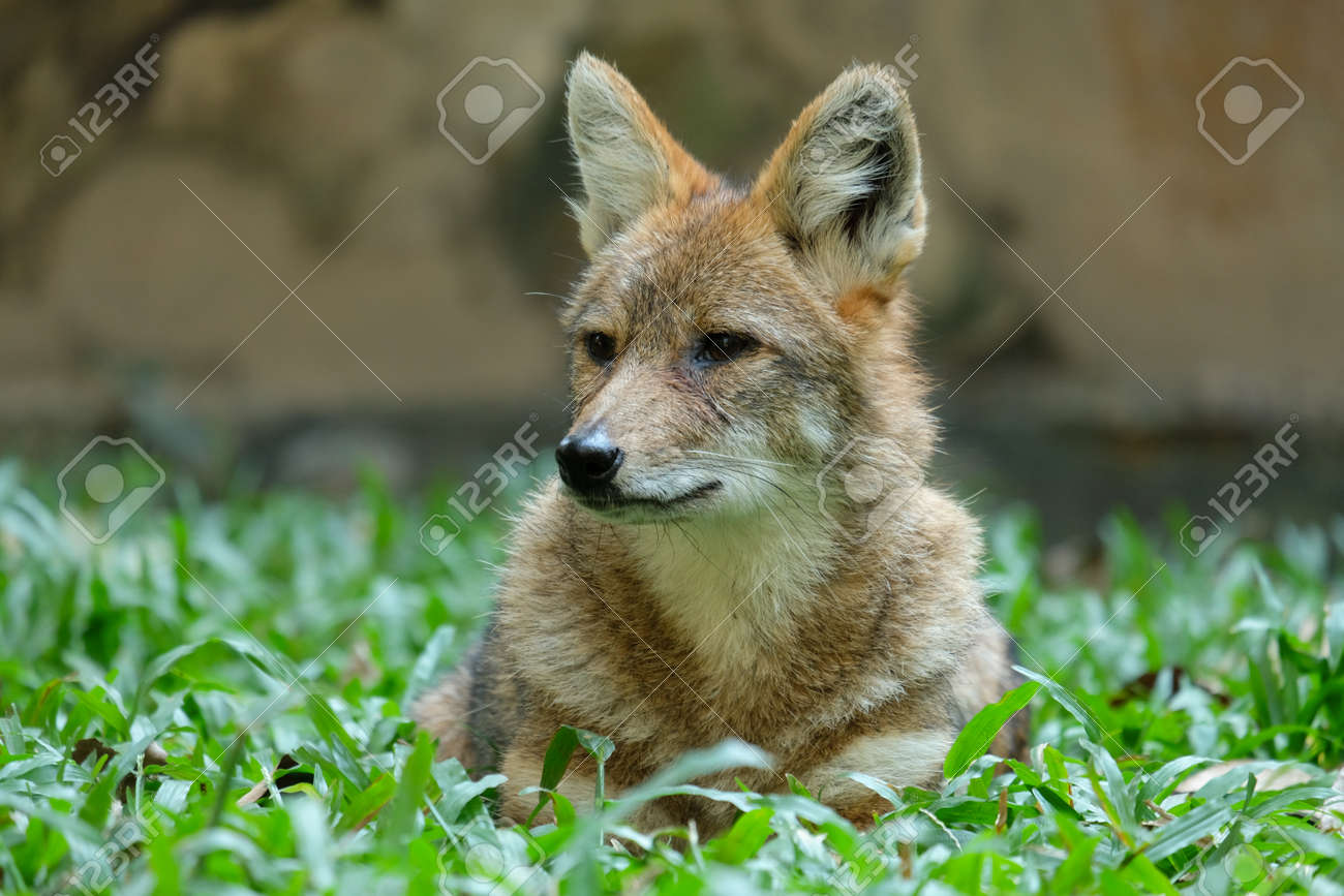 Different actions of the golden jackal during the day. Golden jackal resting on lawn - 168610099