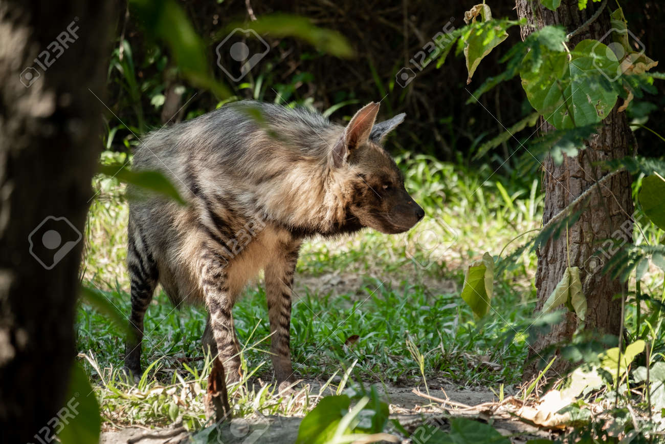 Striped hyenas have a broad head with dark eyes, a thick muzzle, and large, pointed ears. - 168610101