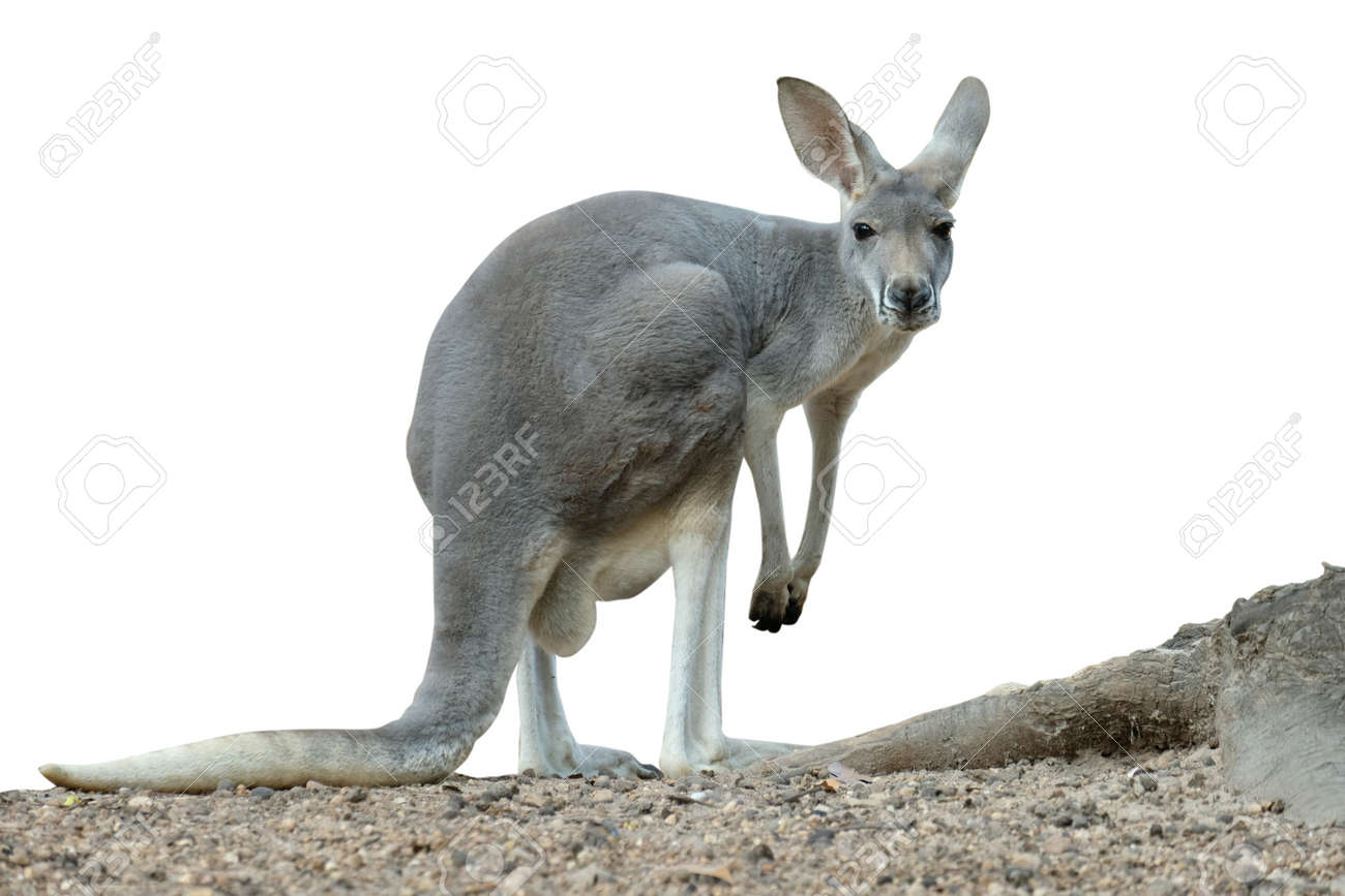 A female kangaroo has joey growing up in the pouch. - 168610104