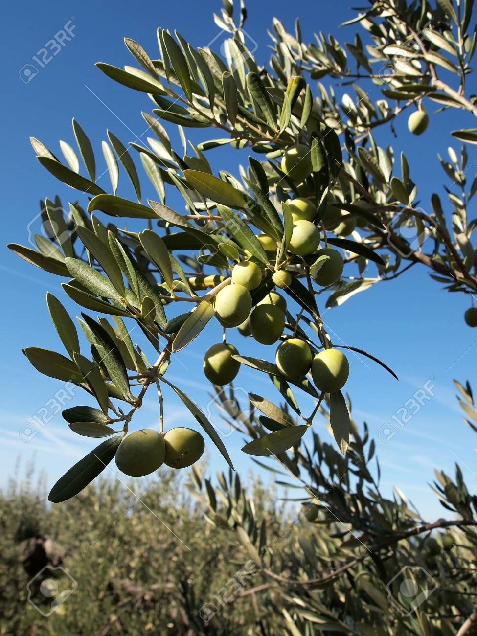 Green Olives On Tree With Blue Sky Background Stock Photo Picture