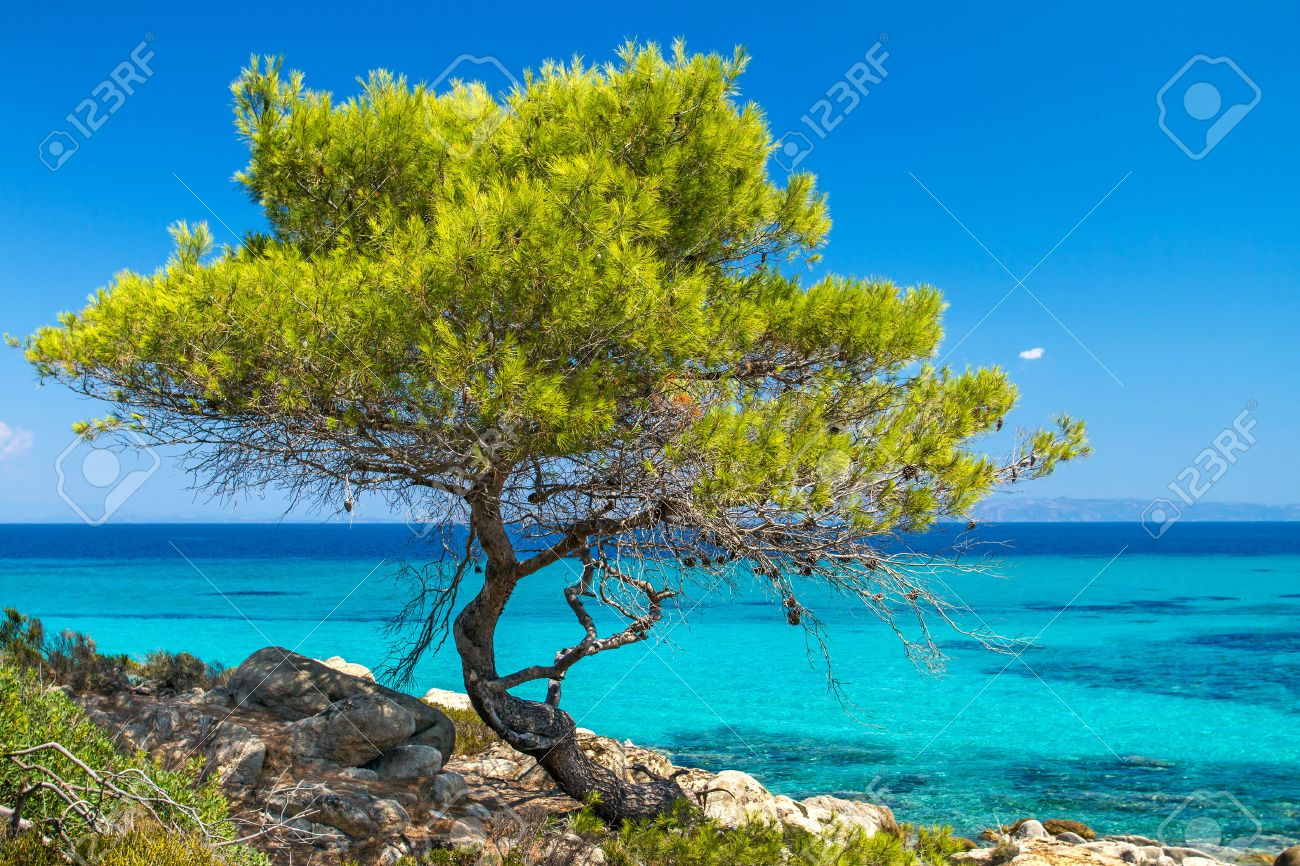 Pine forest tree by the sea in Halkidiki, Greece - 22722760