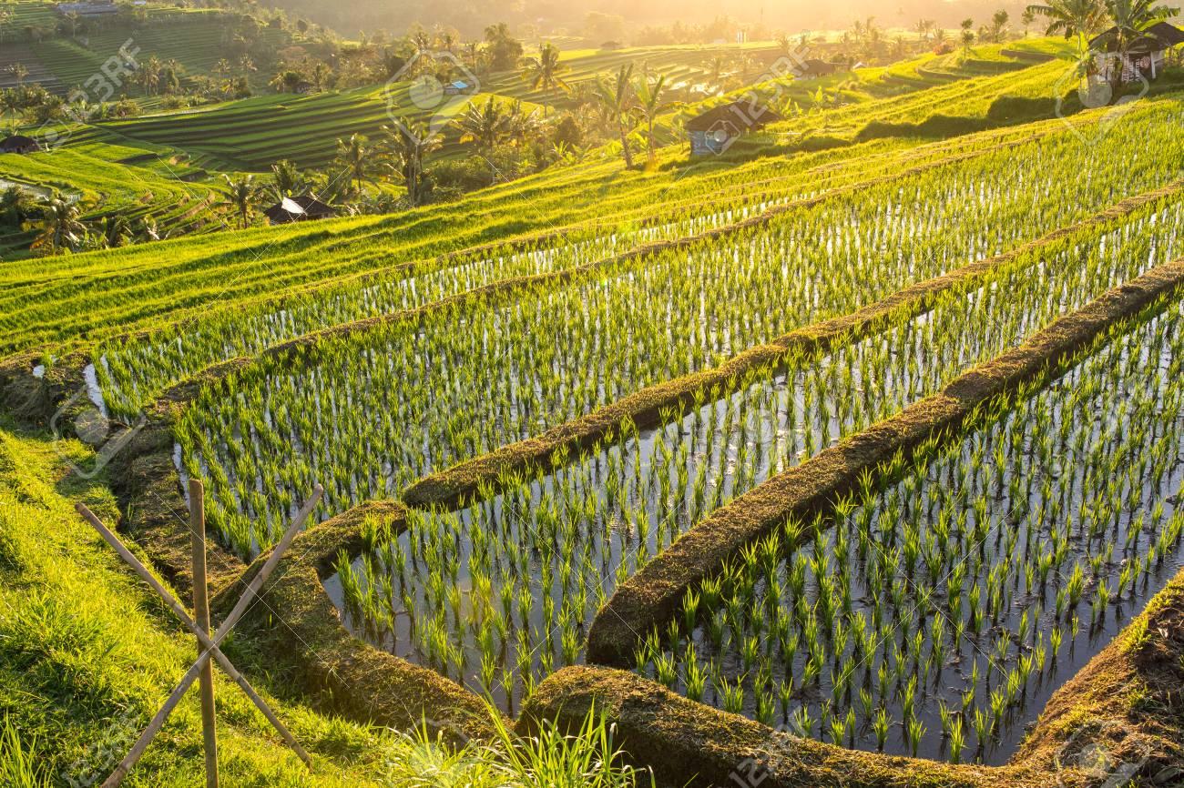 Beautiful Sunrise Over The Jatiluwih Rice Terraces In Bali