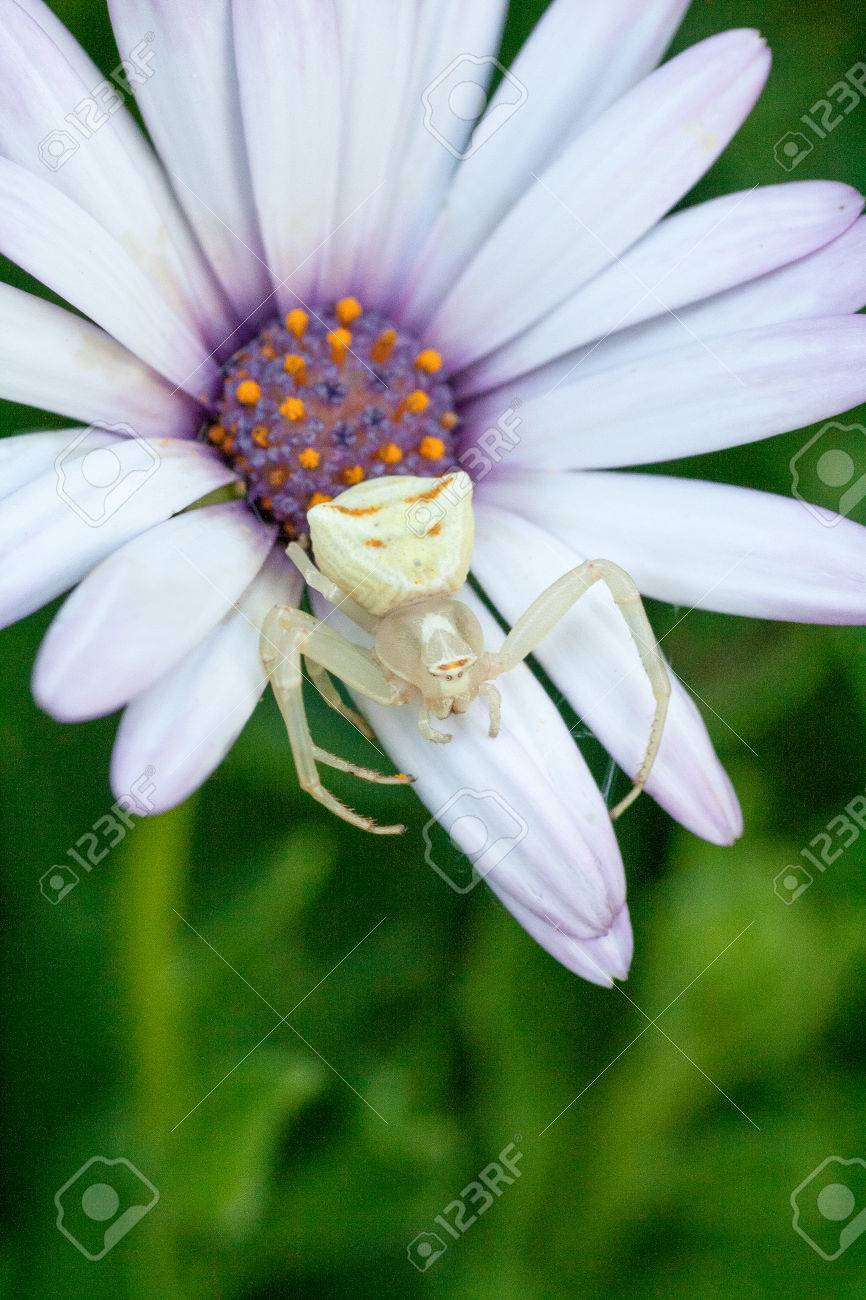 White crab spider on white flower stock photo picture and royalty stock photo white crab spider on white flower mightylinksfo