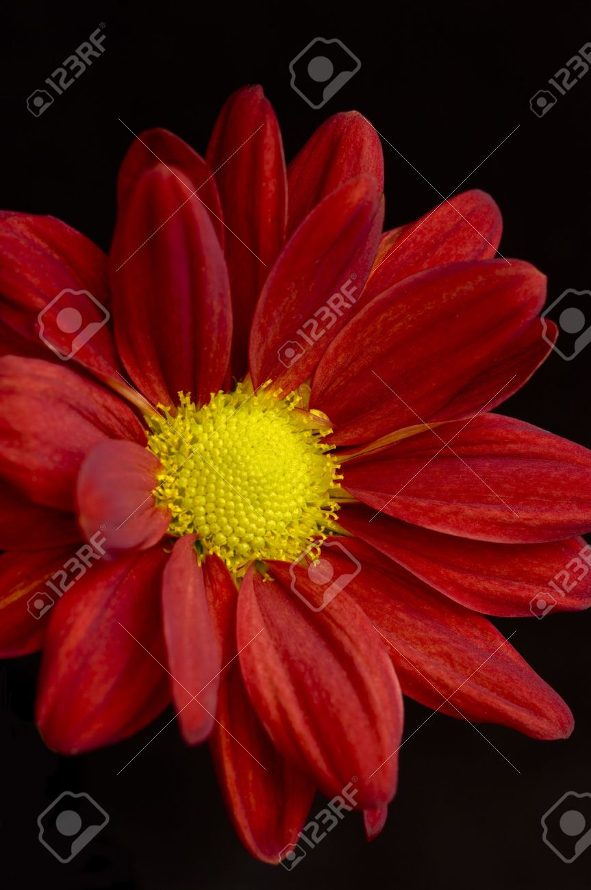 Healthy flower in radiant color a natural symbol of happiness healthy flower in radiant color a natural symbol of happiness since it shows that life biocorpaavc Choice Image