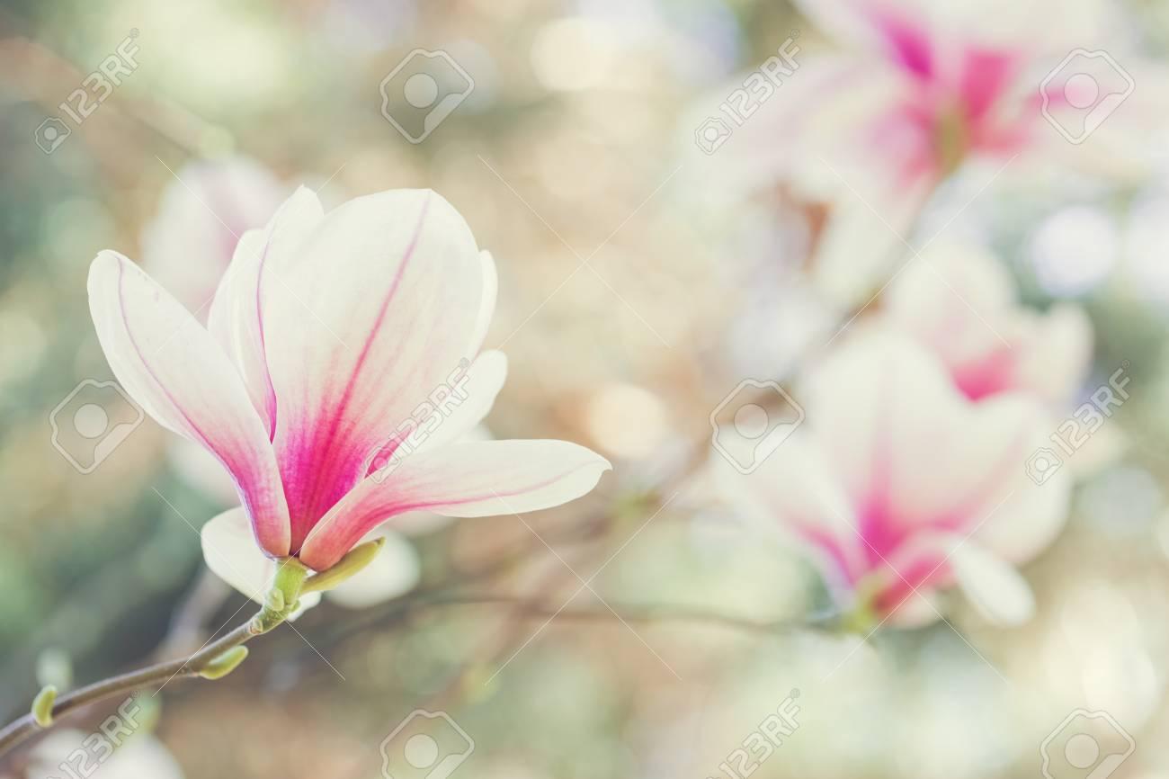 Magnolia Blumen Fruhjahr Bluhen Lizenzfreie Fotos Bilder Und Stock