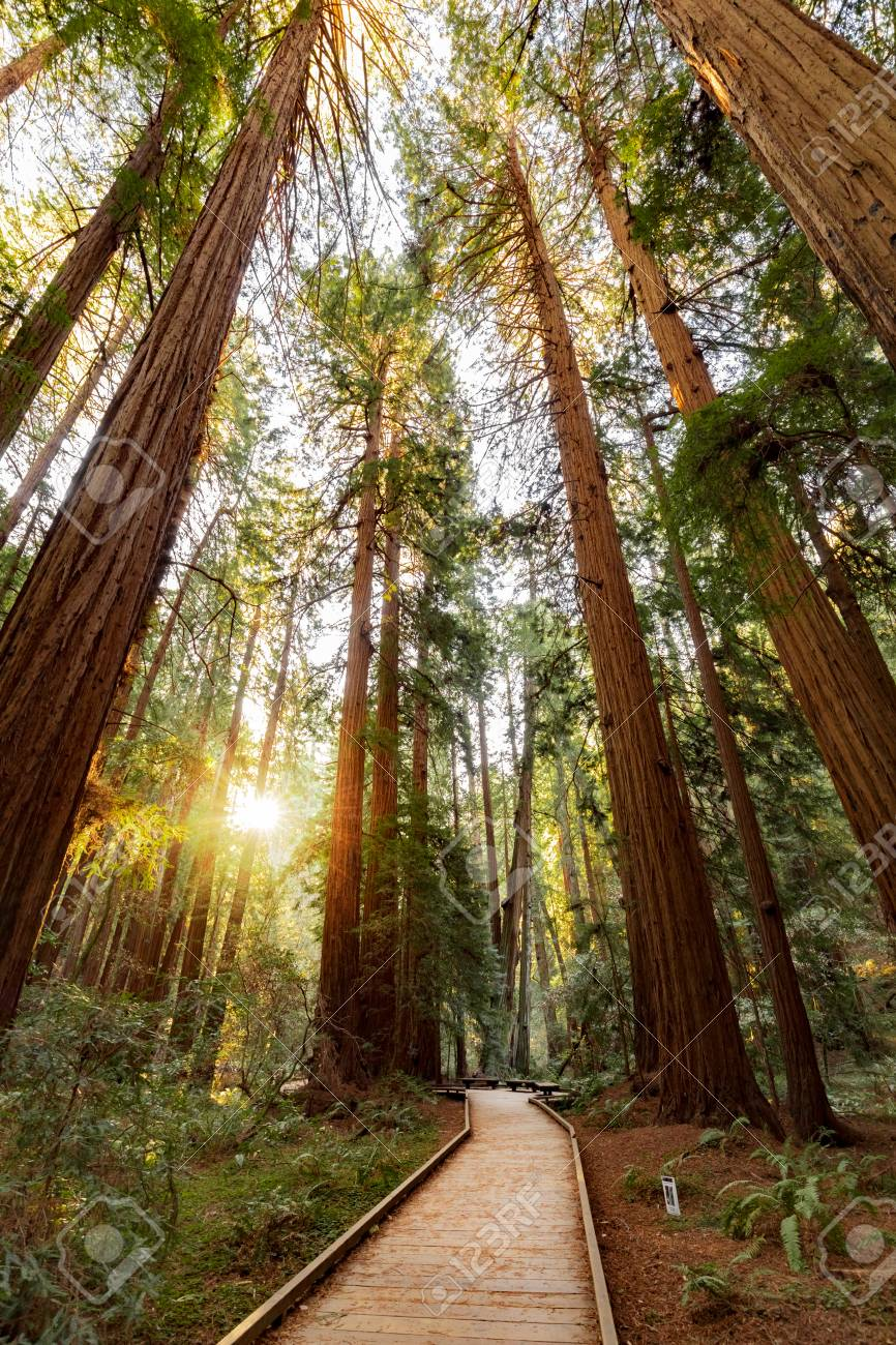 Trail Through Redwoods In Muir Woods National Monument Near San