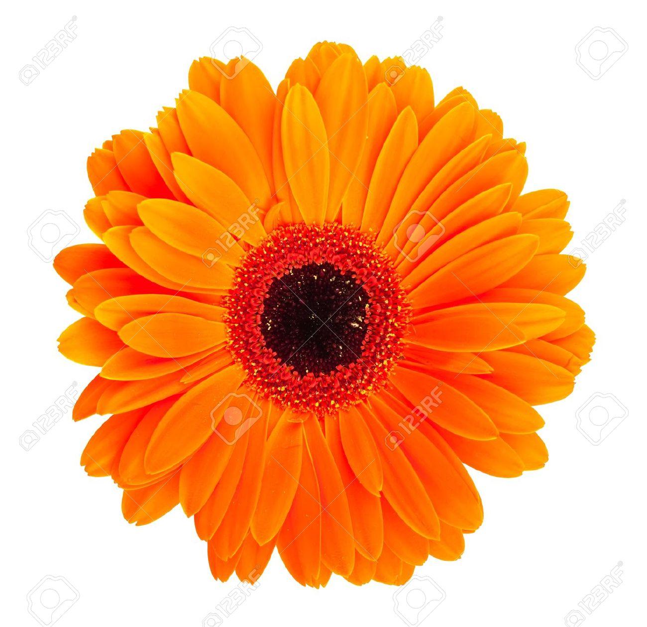 Single Orange Gerbera Flower Isolated On White Background Stock ...
