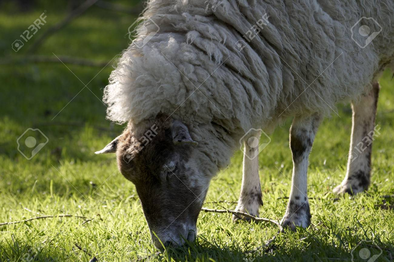 A sheep in a field in the sunshine Stock Photo - 5032831