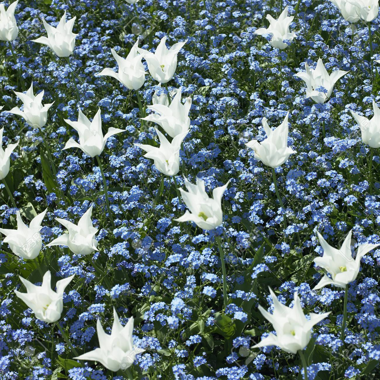 Bed Of White Tulips And Small Blue Flowers Stock Photo Picture And