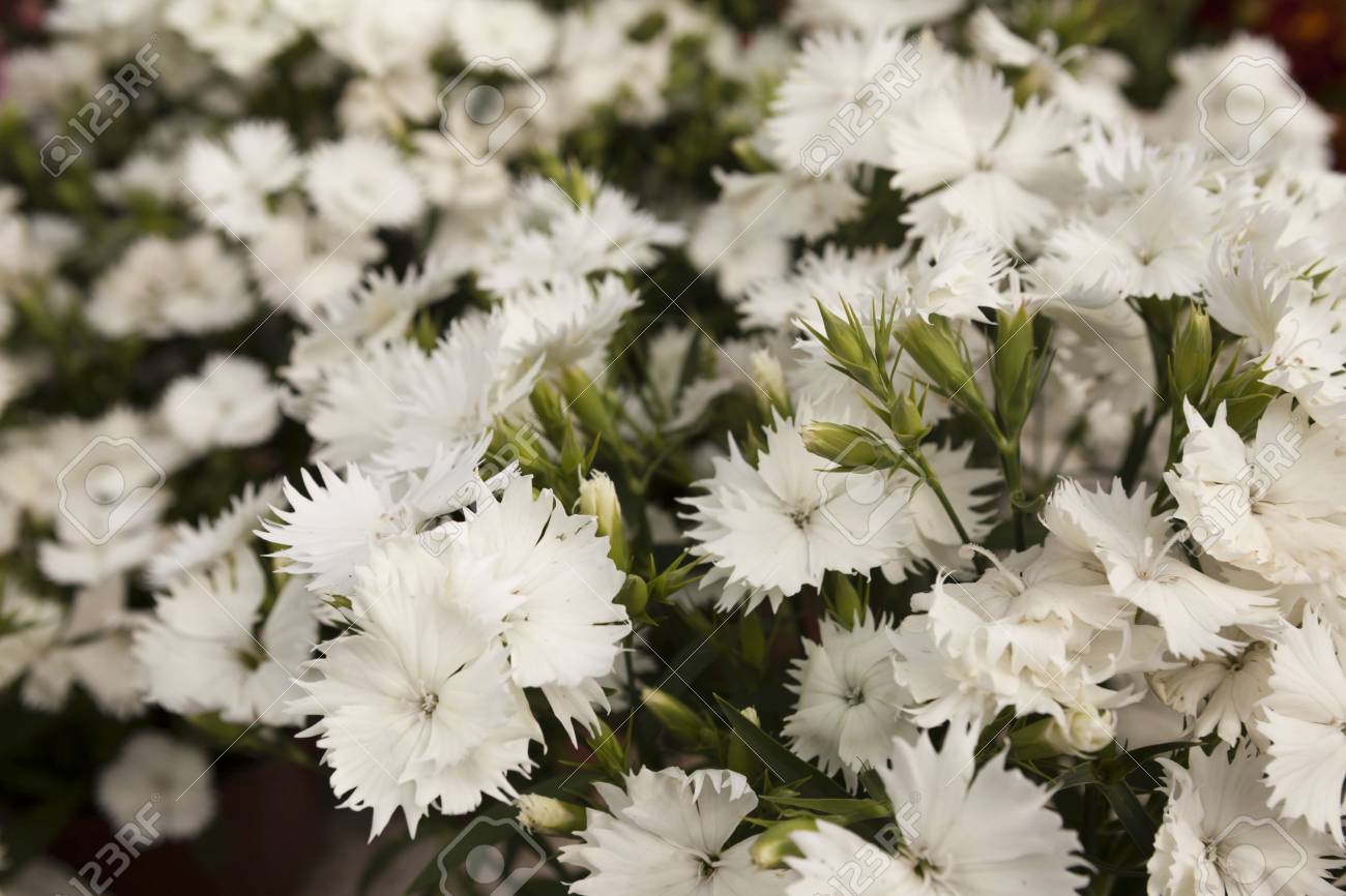 White Carnation Flowers On A Small Flower Market Stock Photo