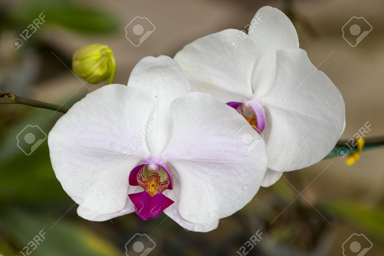 dos grandes flores de orquídeas blancas primer plano de hermosas