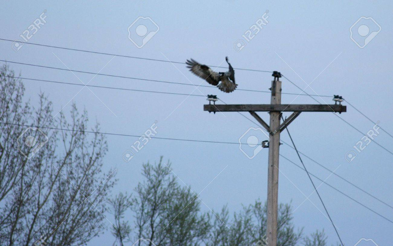 Hawk Landing On A Powerline Pole In The Early Evening. Stock Photo ...
