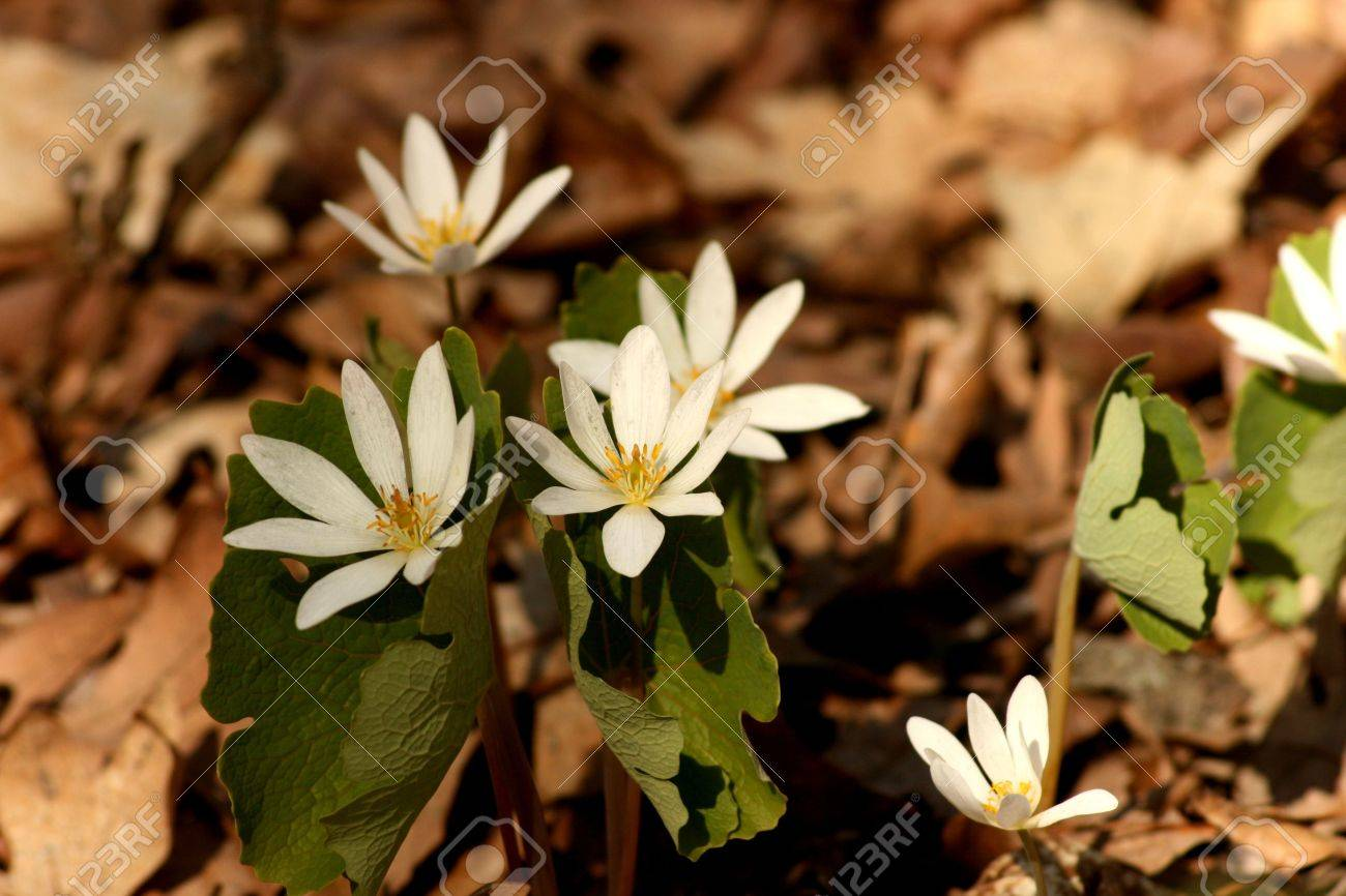 Wild Flowers Are The First To Bloom In The Forest During Early