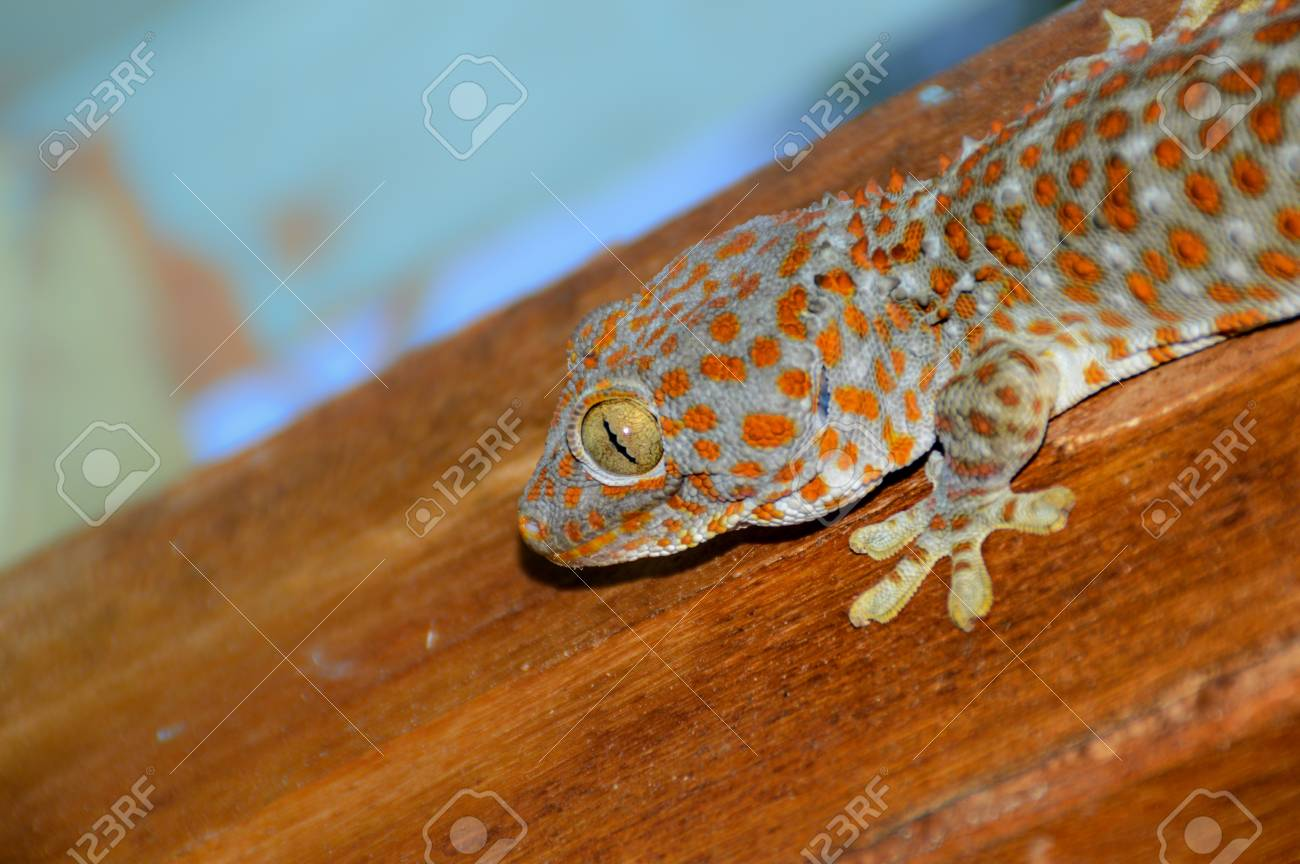 Side View Of A Gecko Guy Waiting On The Side Of A Beam For Prey