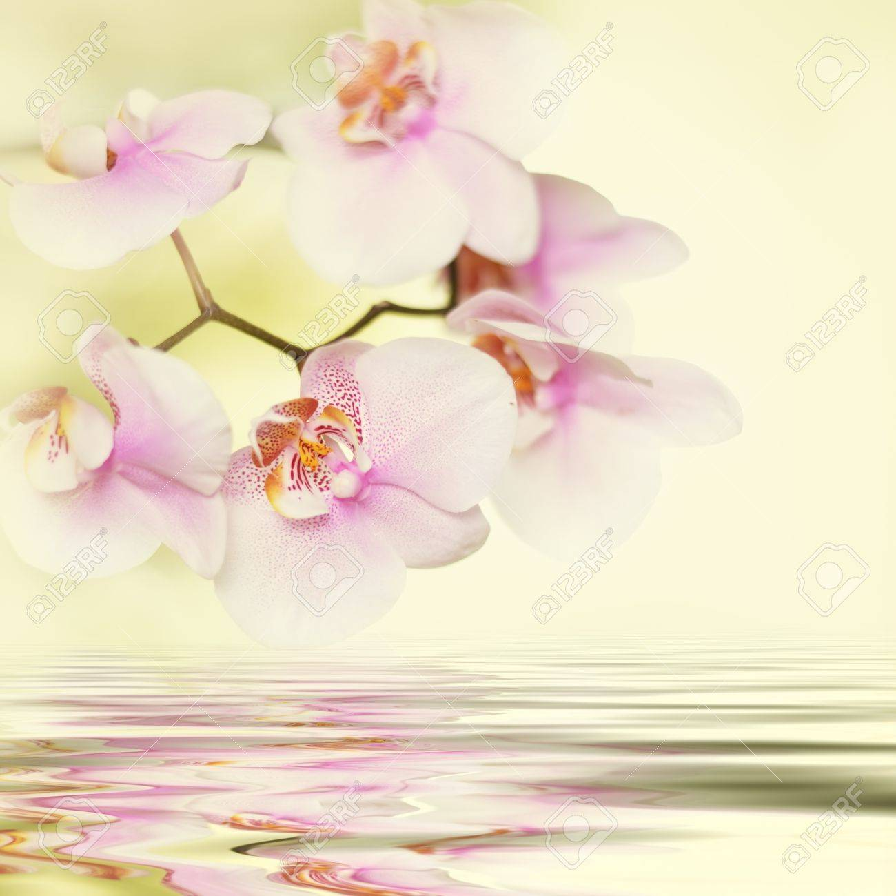 romantic pink orchid flower background reflected in water Stock Photo - 15466910