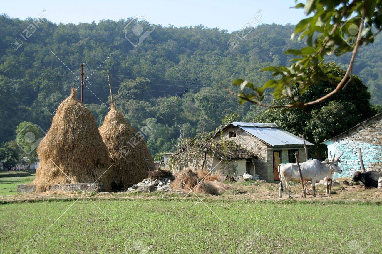 Scene Of Typical Indian Village With Hay Stalk Towers House And Cattle Stock Photo