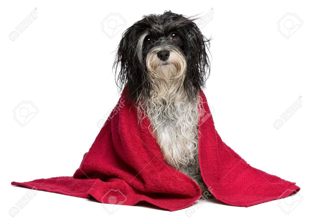 A wet black and white havanese dog after the bath with a red towel isolated on white background Stock Photo - 15279722