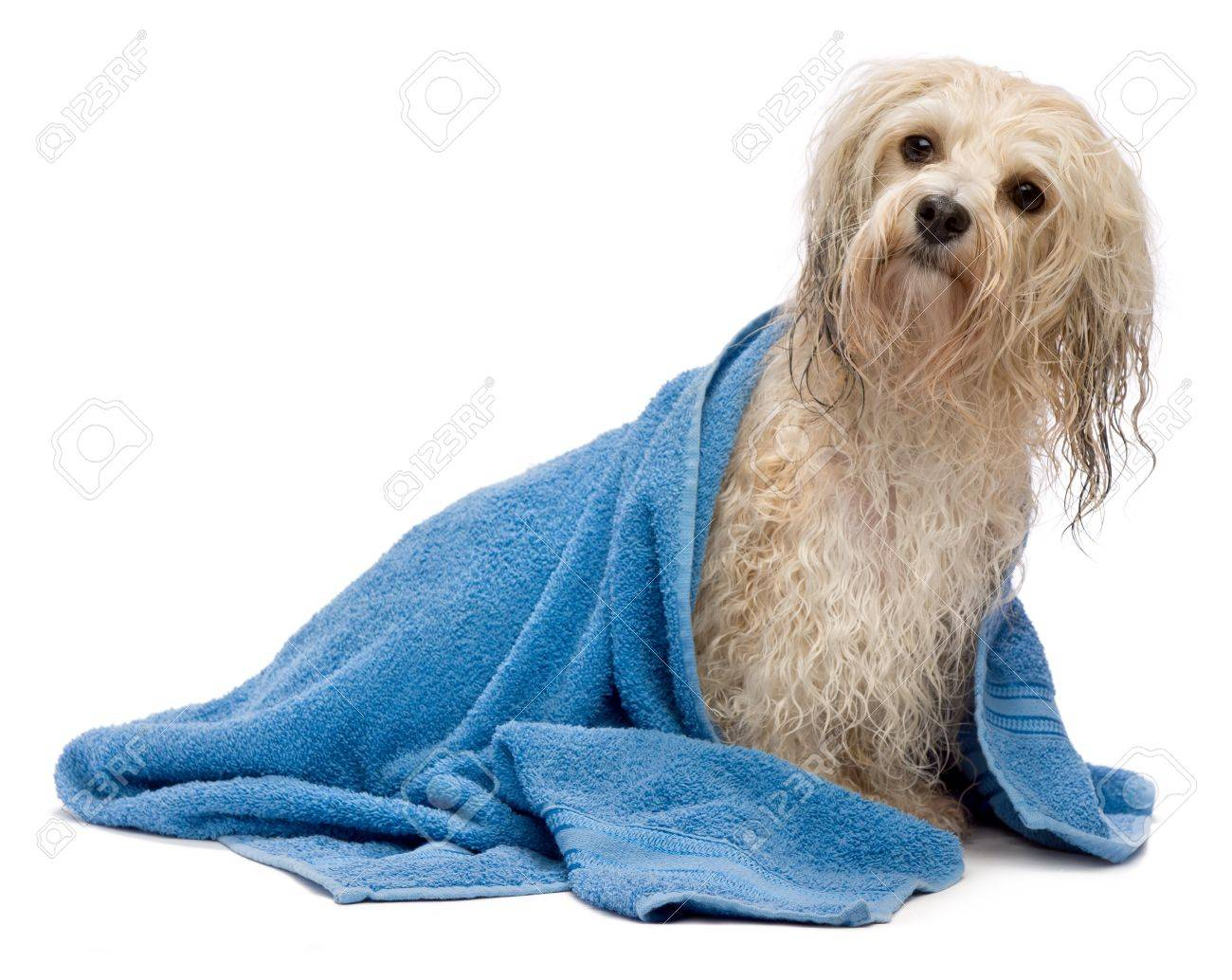 A wet cream havanese dog after the bath with a blue towel isolated on white background Stock Photo - 15279654