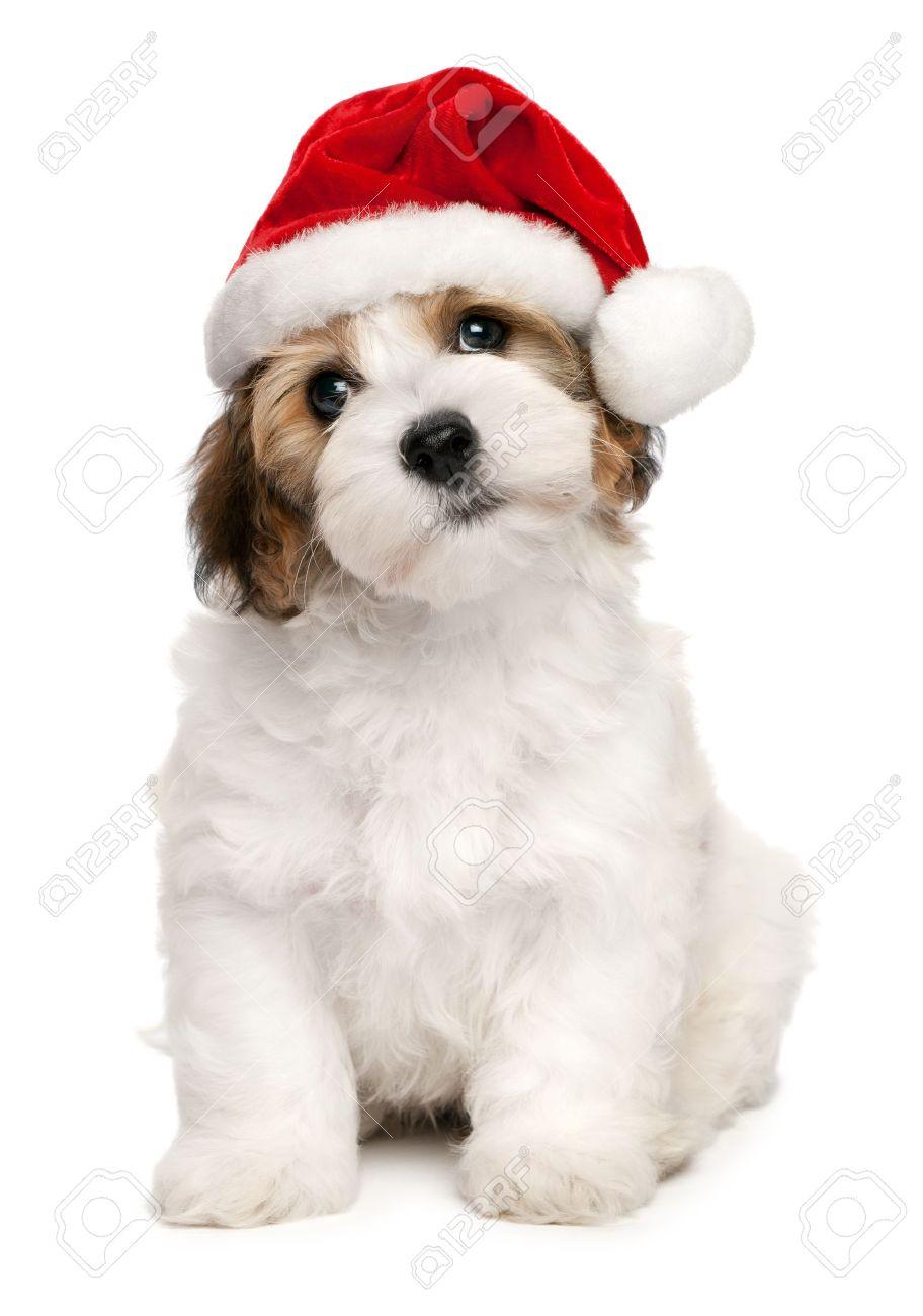 e4a2dc632452b Cute sitting Bichon Havanese puppy dog in Christmas - Santa hat Stock Photo  - 15328833