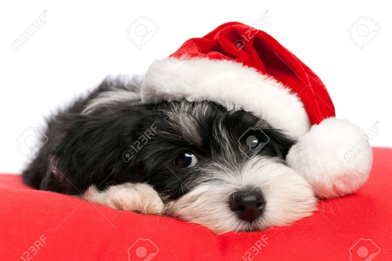 Dog Christmas Images & Stock Pictures. Royalty Free Dog Christmas ...