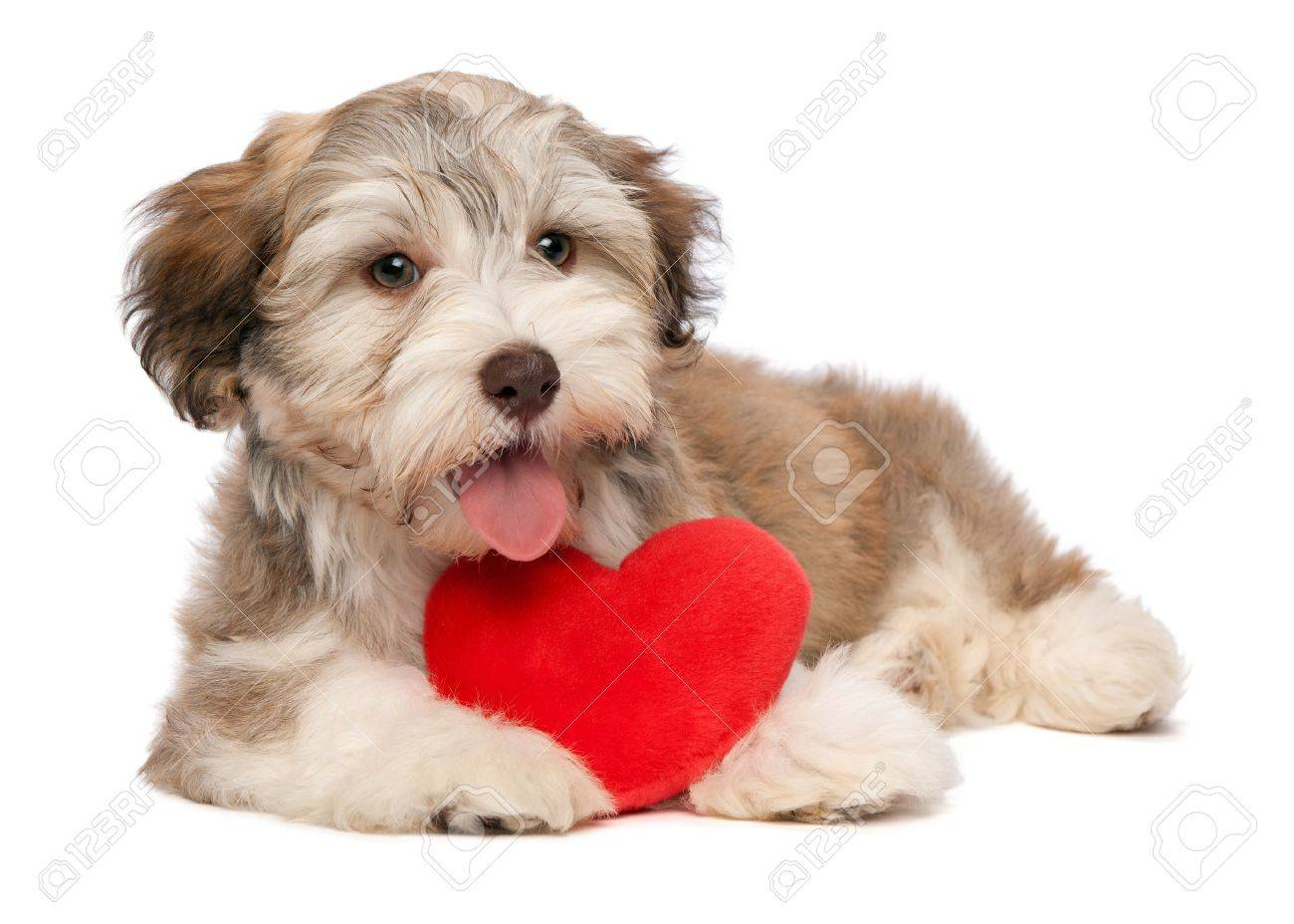 A Lover Chocolate Valentine Havanese Puppy Dog With A Red Heart ...