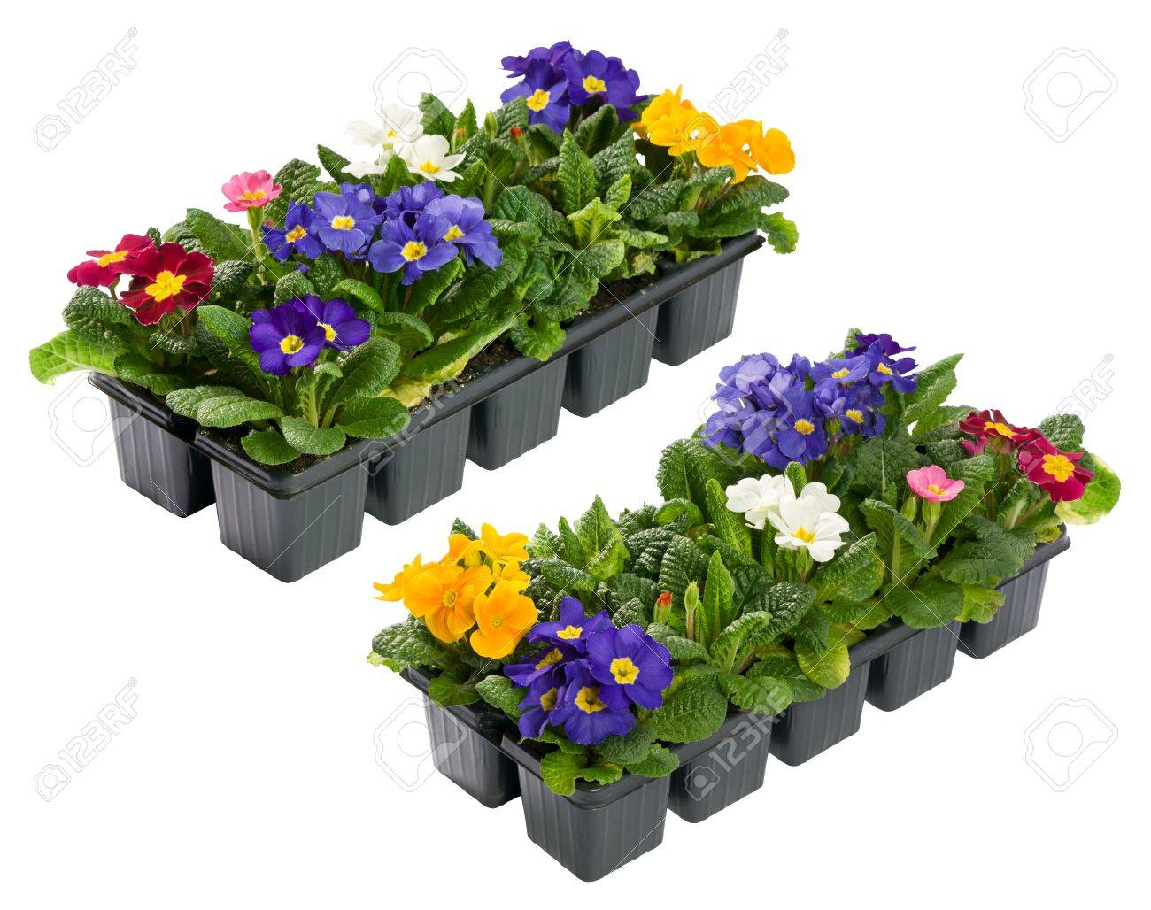 A collection of colorful Primulas from two aspect isolated Stock Photo - 15437029