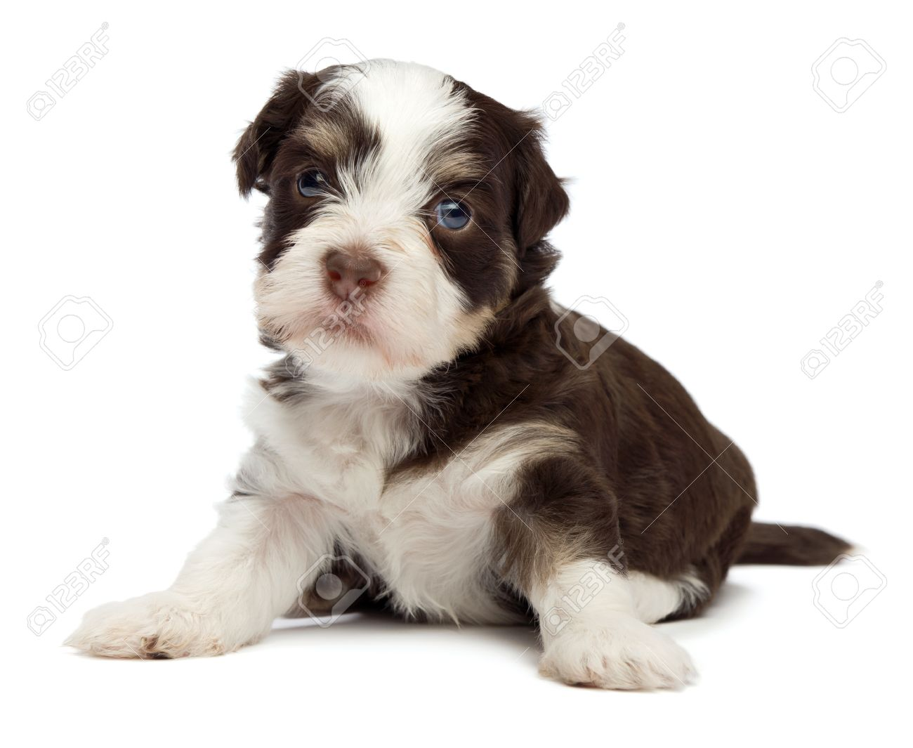 A cute sitting little chocolate havanese puppy dog isolated on