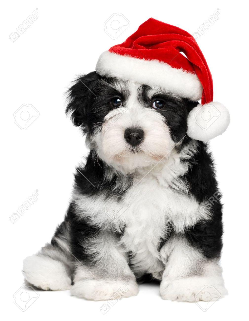 Sitting Bichon Havanese Puppy Dog In A Christmas Santa