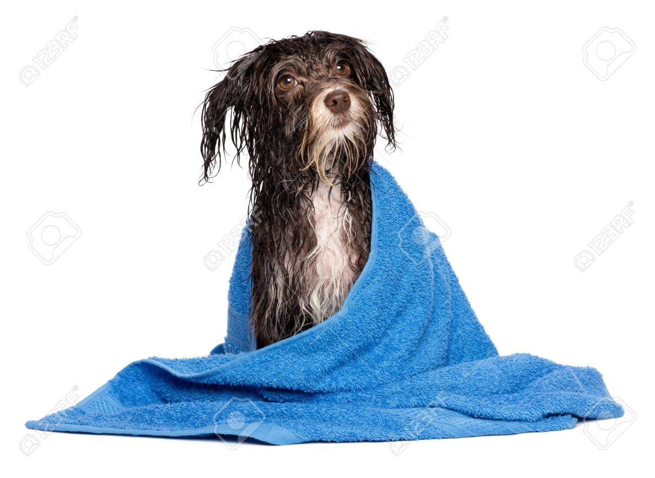 Wet dark chocolate havanese dog after the bath with a blue towel isolated on white background Stock Photo - 18828014
