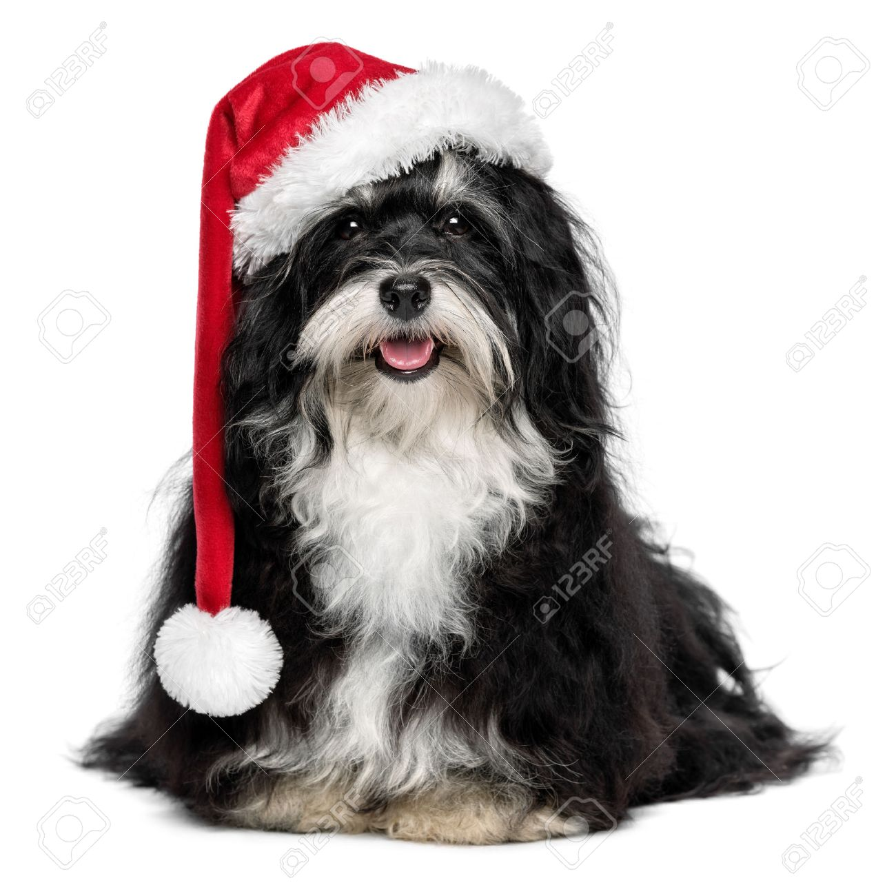 2334797817f33 Funny happy sitting Bichon Havanese dog in a Christmas - Santa hat and with  white beard