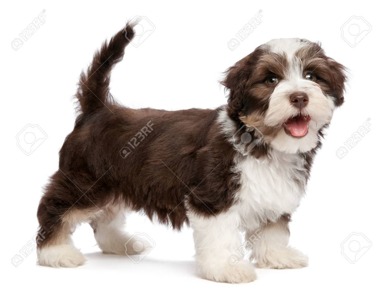 A beautiful smiling dark chocolate and white colored havanese