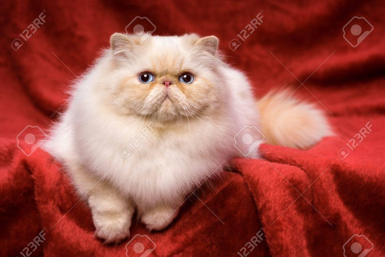 Immagini Stock Bellissimo Gatto Persiano Crema Colorpoint Whith