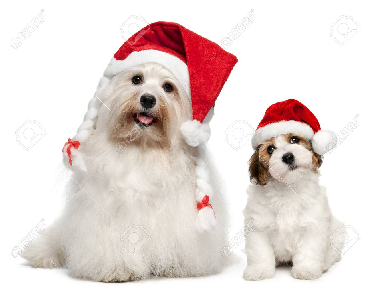 Christmas Hats For Dogs.Father And Son Bichon Havanese Dogs In Christmas Hats Isolated