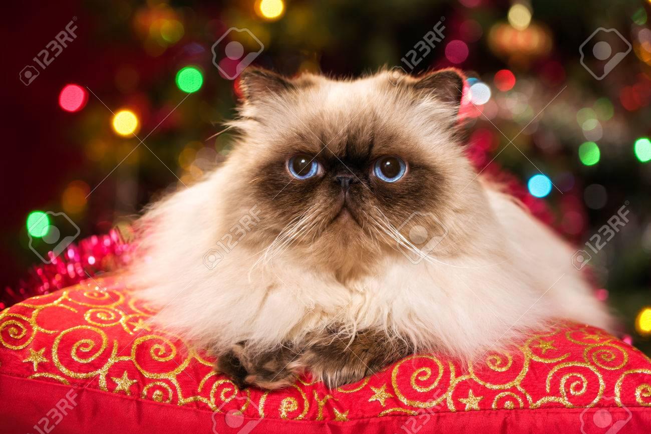 80a28781403 Banque d images - Mignon chat Persan Colourpoint est couché sur un coussin  rouge devant un arbre de Noël avec des lumières colorées bokeh