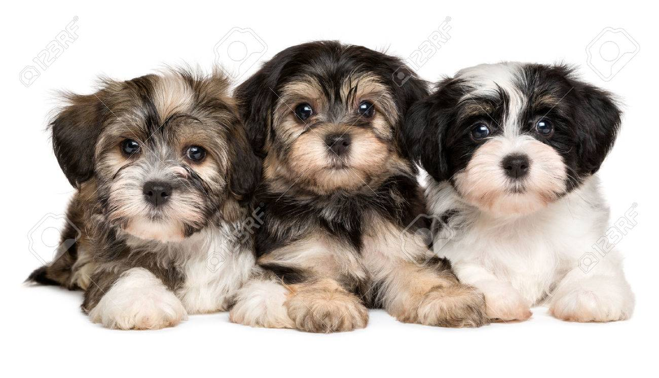 three cute bichon havanese puppies are lying next to each other