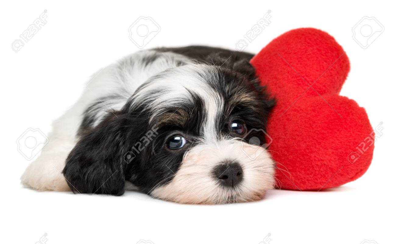 Cute Black And White Lover Valentine Havanese Puppy Dog With Stock Photo Picture And Royalty Free Image Image 51355415