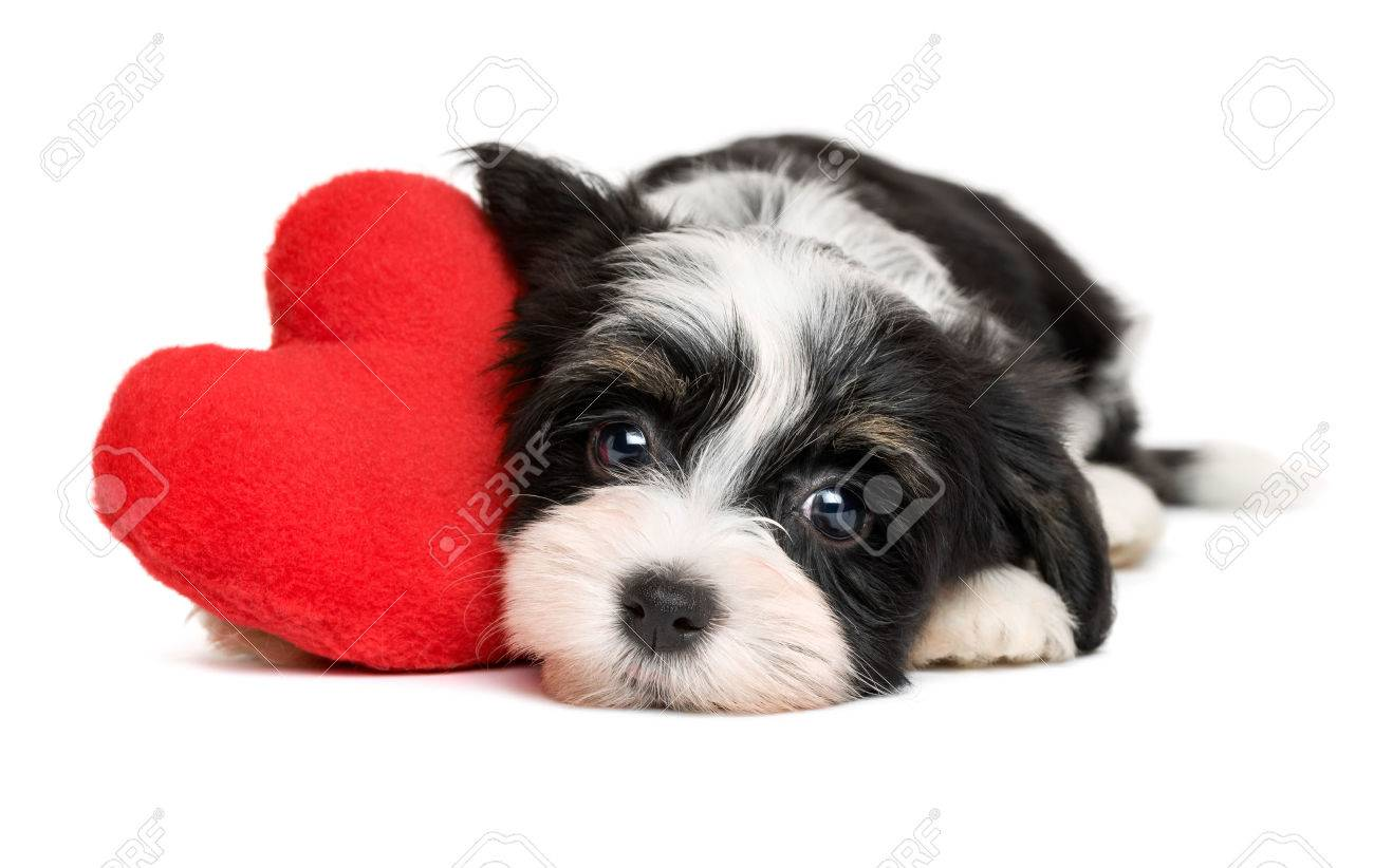 Cute Black And White Lover Valentine Havanese Puppy Dog With Stock Photo Picture And Royalty Free Image Image 51355414