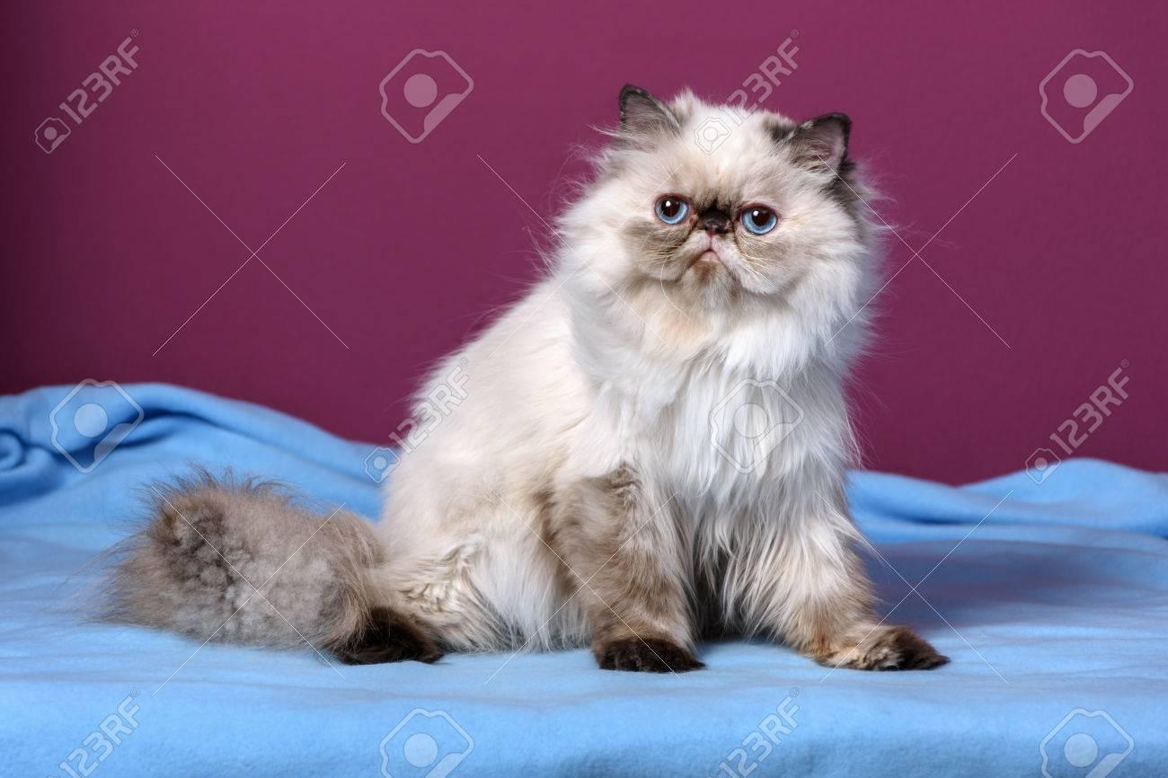 Persa Tortie Punto De Color Lindo Gatito Está Sentado En Una Colcha ...