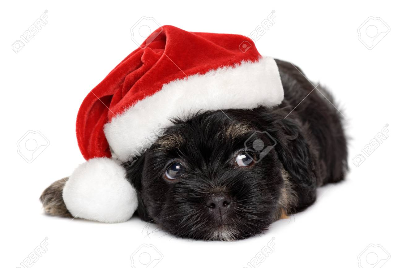 Close Up Of A Cute Black And Tan Havanese Puppy Dog In Santa Stock Photo Picture And Royalty Free Image Image 90135525