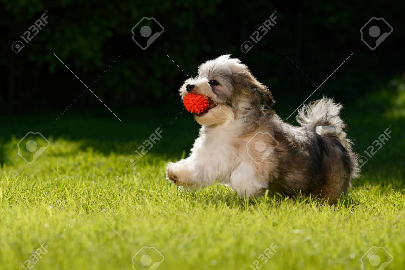 Playful Little Havanese Puppy Dog Running With A Red Ball In Stock