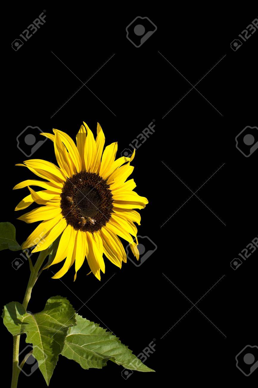 Isolated Organic Sunflower With Honeybees On Blank Black Background For Adding Texts Stock Photo