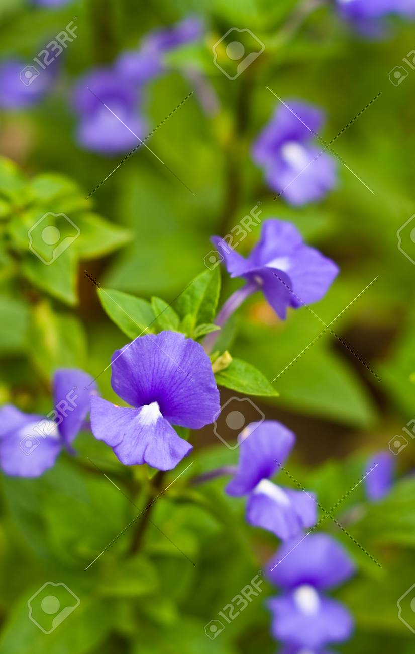 Blue Flower Brazillian Snapdragon Flower Stock Photo Picture And