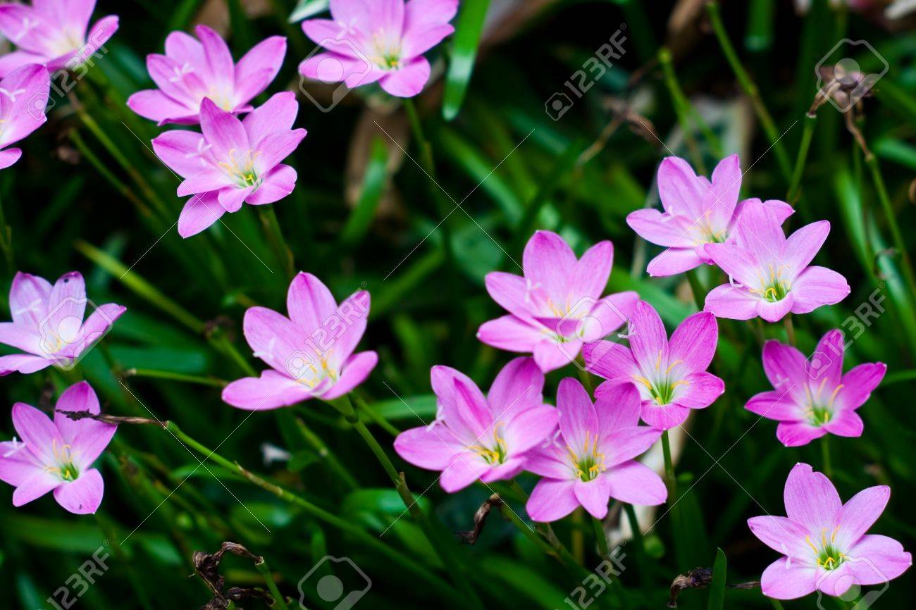 Zephyranthes Lily Flower Rain Lily Fairy Lily Stock Photo Picture